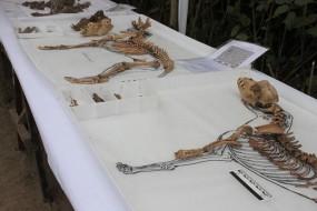 137 momies de chiens mises au jour au Pérou