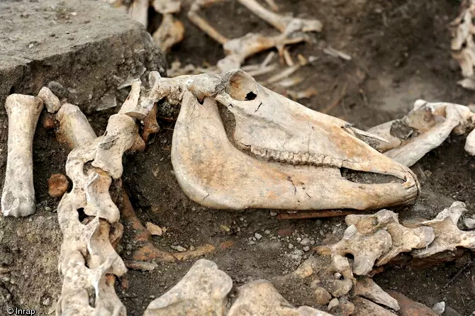 Etonnante découverte de restes de chevaux de guerre dans l'Aube