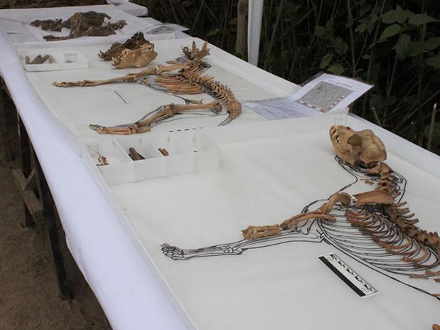 Momies de chiens découvertes au Pérou